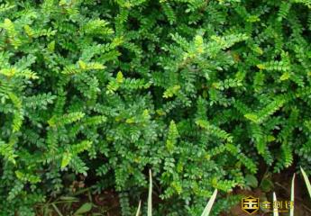 岩山椒是什么?岩山椒有什么用途?岩山椒的药用价值有什么?
