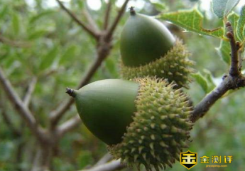 【橡子果】橡子果有什么用?橡子果能吃吗?橡子果怎么吃法?